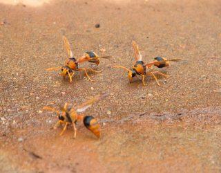 Punture vespe allergia