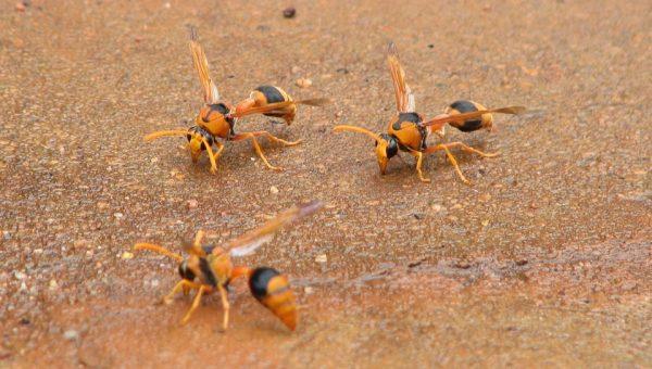 Punture vespe allergia: ecco come comportarsi