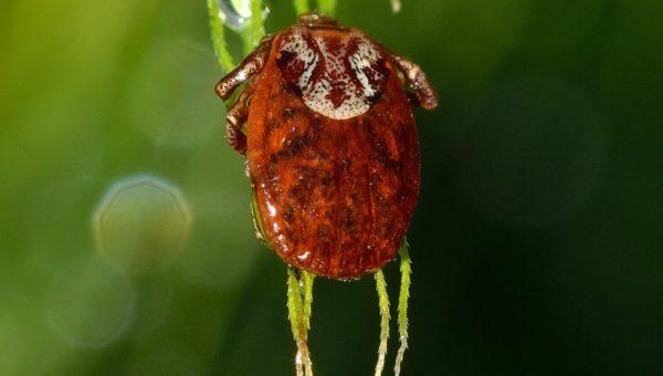 Malattia di Lyme cause: ecco come si presenta questa patologia