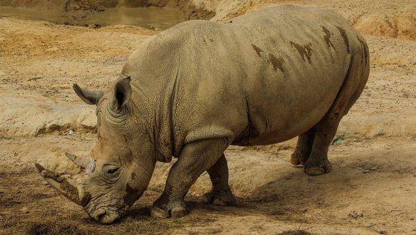 Rinoceronte bianco del nord: addio all'ultimo maschio